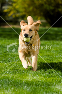 stock-photo-19777043-dog-fetch