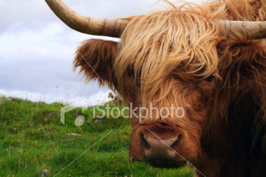 stock-photo-2164939-highland-cow