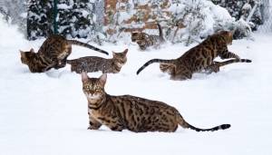 1415647_bengal_cat_jumping_in_snowy_garden